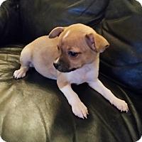 Adopt A Pet :: Dozer - Chandler, AZ