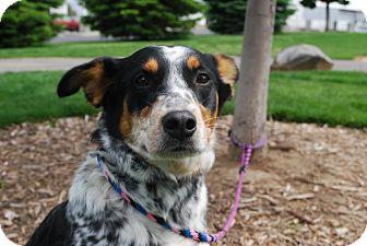 Australian Cattle Dog/Border Collie Mix Dog for adoption in Twin Falls, Idaho - Jolie