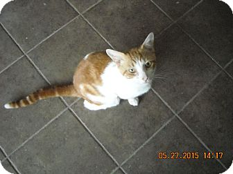 Domestic Shorthair Cat for adoption in Riverside, Rhode Island - Sammy