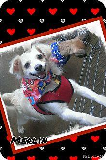 Spaniel (Unknown Type) Mix Dog for adoption in Apache Junction, Arizona - Merlin