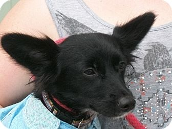 Papillon/Dachshund Mix Dog for adoption in Martinsville, Indiana - Pixie