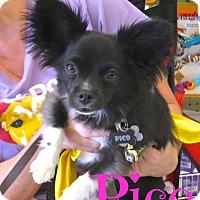 Adopt A Pet :: Pico - Scottsdale, AZ