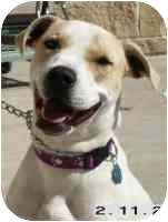 Pointer Mix Dog for adoption in Carrollton, Texas - Nilla Wafer