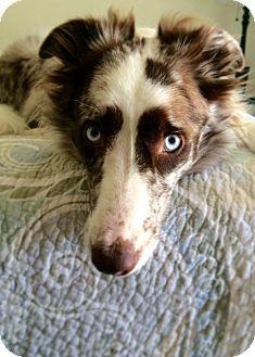 Border Collie Dog for adoption in San Pedro, California - GUNNER