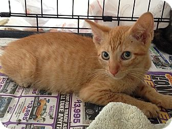 Domestic Shorthair Kitten for adoption in Tampa, Florida - Cinnamon
