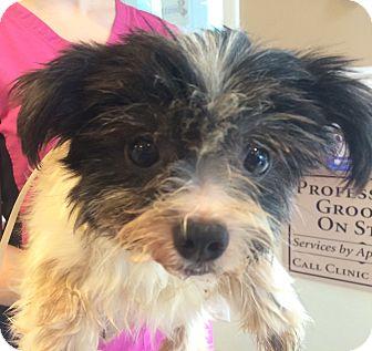 Shih Tzu/Maltese Mix Dog for adoption in Oak Ridge, New Jersey - Babs