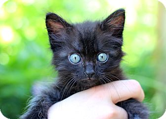 Domestic Longhair Kitten for adoption in College Station, Texas - Bagheera
