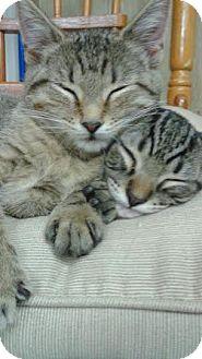 Domestic Mediumhair Kitten for adoption in tampa, Florida - Alfie KITTEN