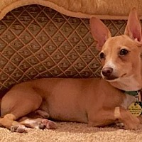 Chihuahua Mix Dog for adoption in Scottsdale, Arizona - Ezra