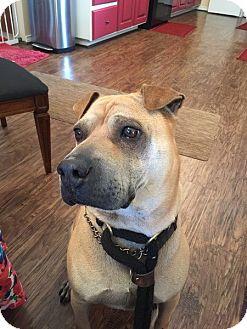 Shar Pei Dog for adoption in Houston, Texas - Fawnzie