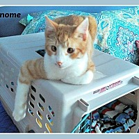 Adopt A Pet :: Gnome - New Richmond,, WI