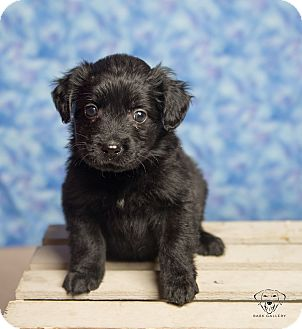 Spaniel (Unknown Type)/Mixed Breed (Medium) Mix Puppy for adoption in Henderson, Nevada - Puppies!