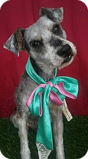 Schnauzer (Standard) Mix Dog for adoption in Santa Monica, California - CHESTER