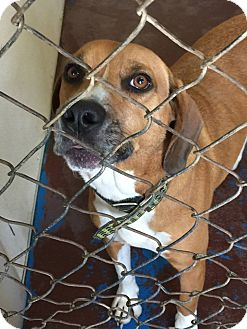 Beagle/Coonhound Mix Dog for adoption in Newburgh, Indiana - Redkin