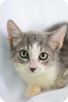 Domestic Shorthair Cat for adoption in Bradenton, Florida - Crookshanks