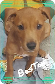 Labrador Retriever/Black Mouth Cur Mix Puppy for adoption in Palm Bay, Florida - Boston
