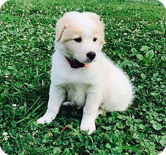 Shepherd (Unknown Type) Mix Puppy for adoption in Mayflower, Arkansas - Marley
