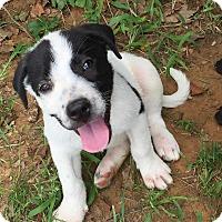 Adopt A Pet :: Dotti - Joshua, TX