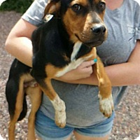 German Shepherd Dog/Rottweiler Mix Dog for adoption in Payson, Arizona - Baxter