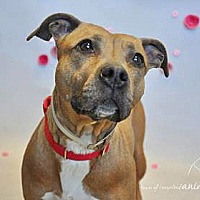 Adopt A Pet :: BLAIR - NYC, NY