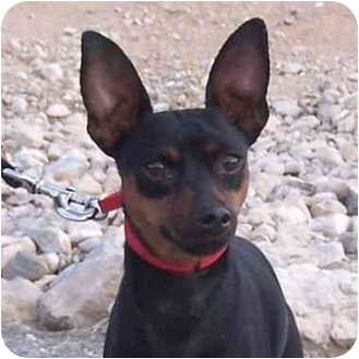 Miniature Pinscher Mix Dog for adoption in Las Vegas, Nevada - Kobe