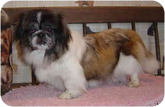 Pekingese Dog for adoption in Overland Park, Kansas - Jumbo