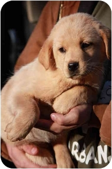 Golden Retriever/Labrador Retriever Mix Puppy for adoption in Prince William County, Virginia - marty