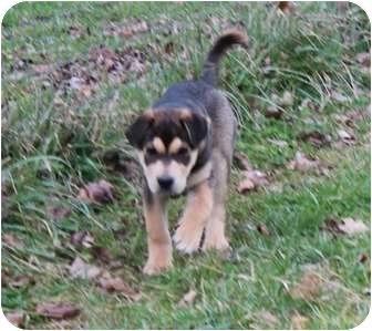 Australian Shepherd/Rottweiler Mix Puppy for adoption in Spring Valley, New York - Thomas