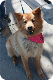 Chow Chow/Retriever (Unknown Type) Mix Dog for adoption in Arlington, Texas - Jubilee