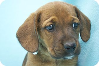 Boxer/Dachshund Mix Puppy for adoption in Broomfield, Colorado - Nougat