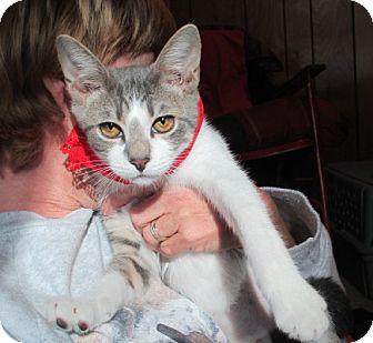 Domestic Shorthair Kitten for adoption in Long Beach, New York - April