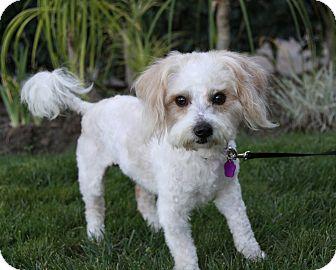 Maltese/Poodle (Miniature) Mix Dog for adoption in Newport Beach, California - ALEC