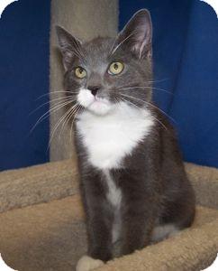 Domestic Shorthair Kitten for adoption in Colorado Springs, Colorado - K-Yvonne3-Tipton