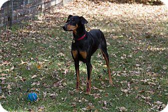 Doberman Pinscher Dog for adoption in Greensboro, North Carolina - Morticia