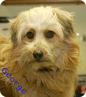 Poodle (Miniature)/Pomeranian Mix Dog for adoption in Norfolk, Nebraska - George