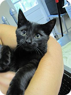 Domestic Shorthair Kitten for adoption in Morristown, New Jersey - Luna