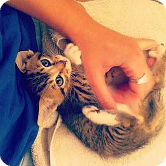 Domestic Shorthair Kitten for adoption in Gainesville, Florida - Fovea