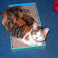 Calico Cat for adoption in Devon, Pennsylvania - Magnolia