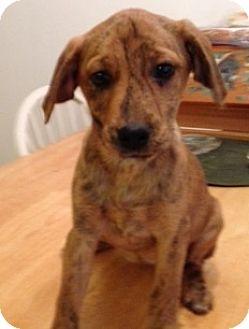 Labrador Retriever/Hound (Unknown Type) Mix Puppy for adoption in waterbury, Connecticut - Tinkerbell