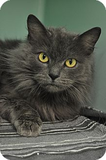 Domestic Longhair Cat for adoption in Rockaway, New Jersey - Maggie