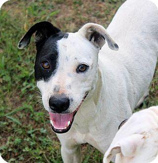 Labrador Retriever Mix Dog for adoption in Williston, Vermont - Chance