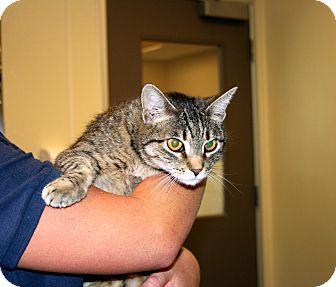 Domestic Mediumhair Cat for adoption in Yucca Valley, California - Chuckie Lillian Cathcart