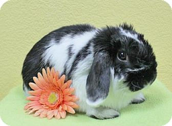 Lop-Eared Mix for adoption in Benbrook, Texas - Pippa