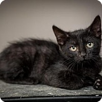 Adopt A Pet :: Jettster - St. Louis, MO