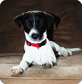 Rat Terrier/Dachshund Mix Dog for adoption in Alstead, New Hampshire - LEIA