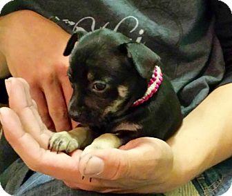 Dachshund Mix Puppy for adoption in Newport Beach, California - Peanut