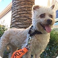Adopt A Pet :: Athena - Mission Viejo, CA