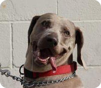Weimaraner Dog for adoption in Sun Valley, California - Stoney