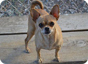 Chihuahua Mix Dog for adoption in Santa Barbara, California - Brissa