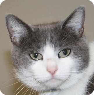 Domestic Shorthair Cat for adoption in Lovingston, Virginia - Whisper (PSP)